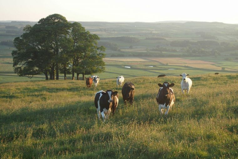 a number of brown cows in Yorkshire walking across a grassy field towards the camera as the sun sets to their left